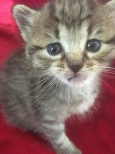 "Baby Male Cat - Tabby - Grey: ""Eddie"""