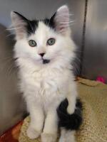 """Young Female Cat - Domestic Medium Hair: """"Cecily"""""""