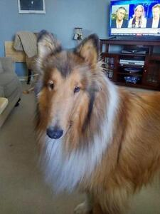 "Adult Male Dog - Collie: ""Fox *meeting a family this weekend*"""