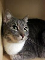 Female Cat - Domestic Short Hair - gray and white-Tabby - Grey