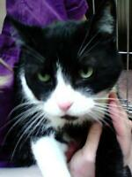 "Senior Male Cat - Domestic Short Hair: ""Jaxon"""