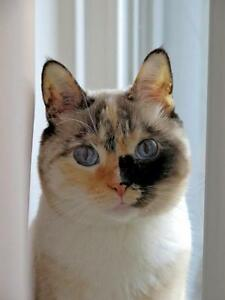 "Adult Female Cat - Siamese-Dilute Tortoiseshell: ""Lily"""