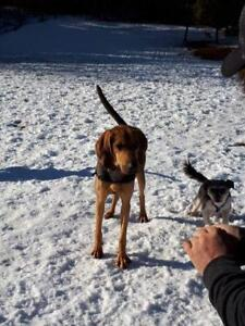 """Adult Male Dog - Black and Tan Coonhound-Collie: """"Smokey"""""""