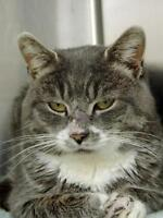 "Adult Male Cat - Domestic Short Hair: ""Rudolph"""