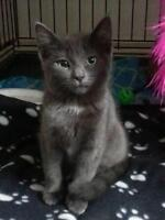"""Young Female Cat - Domestic Short Hair-gray: """"Olive"""""""