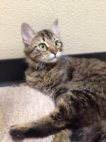 "Adult Female Cat - Domestic Long Hair: ""Alexis"""