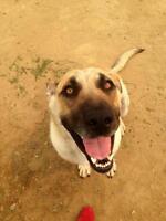 "Adult Female Dog - German Shepherd Dog-Mastiff: ""Lady"""