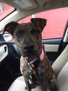 Young Female  - American Staffordshire Terrier-Husky