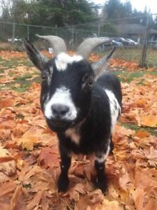 "Adult Female Barnyard - Goat: ""Tink"""