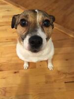 "Adult Female Dog - Jack Russell Terrier: ""Noni"""