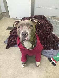 "Adult Female Dog - American Staffordshire Terrier: ""Gucci"""