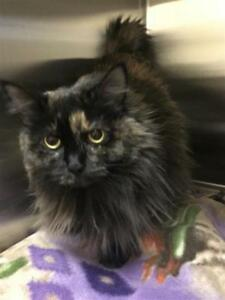 "Adult Female Cat - Domestic Medium Hair: ""Kathleen"""