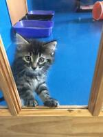 """Baby Female Cat - Tabby: """"Hailey - ADOPTED"""""""