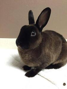 "Young Female Rabbit - Rex: ""Phoebe"""
