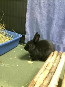 "Adult Female Rabbit - American: ""Joey"""