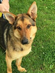 "Adult Male Dog - German Shepherd Dog: ""Russell"""