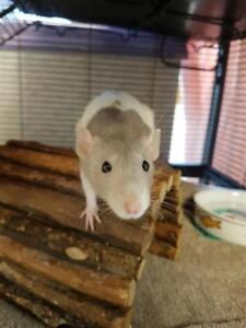 """Baby Female Small & Furry - Rat: """"Jane With Anne & Katherine"""""""