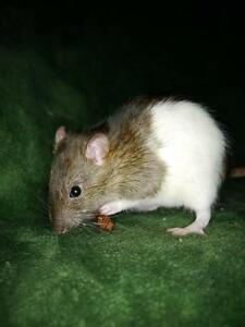 """Young Female Small & Furry - Rat: """"Florence"""""""