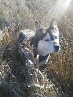 "Adult Female Dog - Husky-Shepherd: ""Apache"""