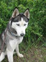 "Adult Female Dog - Siberian Husky: ""Sadie"""