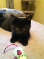 "Young Female Cat - Domestic Short Hair-black: ""Polly"""