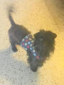 Young Male  - Wirehaired Dachshund-Scottish Terrier Scottie