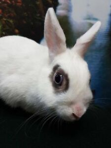 "Young Female Rabbit - Hotot: ""Bubbles"""