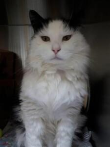 """Senior Male Cat - Domestic Long Hair: """"Willy"""""""