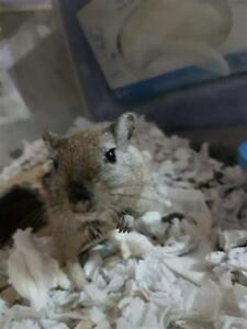 "Young Male Small & Furry - Gerbil: ""Joel"""
