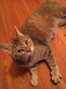 "Young Female Cat - Domestic Short Hair: ""Mama"""