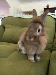 "Adult Male Rabbit - Lionhead: ""Popsicle"""