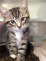 "Baby Male Cat - Domestic Short Hair: ""Jordan"""