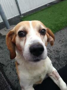 "Adult Male Dog - Beagle: ""Leroy"""