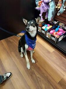"Adult Female Dog - Shepherd-Husky: ""Venus"""