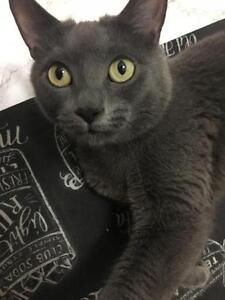 "Adult Female Cat - Russian Blue-Domestic Short Hair: ""Pasta"""