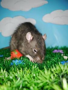 "Young Male Small & Furry - Rat: ""Cyan"""