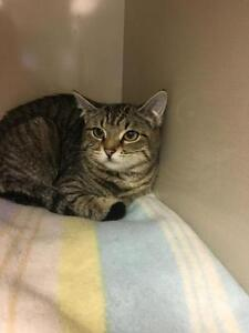 "Young Female Cat - Domestic Short Hair-Tabby: ""Cher"""