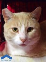 "Adult Male Cat - Domestic Short Hair: ""Sparrow"""