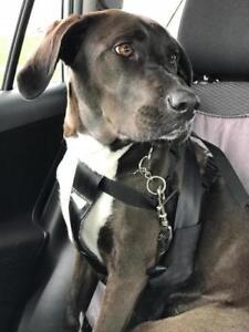 """Adult Female Dog - Labrador Retriever-Boxer: """"Dakoda"""""""