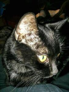 "Senior Male Cat - Domestic Short Hair-black: ""Jet"""