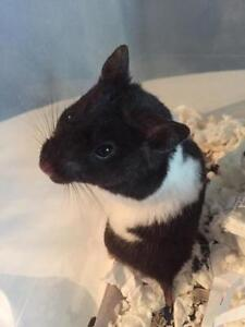 """Young Female Small & Furry - Hamster: """"Lucy"""""""