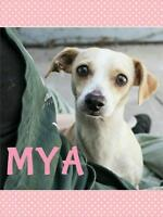"Young Female Dog - Chihuahua-Beagle: ""Mya"""