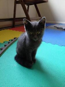 "Young Male Cat - Domestic Short Hair-gray: ""Johnnie"""