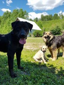 """Adult Male Dog - Labrador Retriever-Retriever: """"Ruckus"""""""