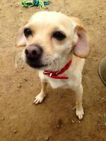 "Adult Female Dog - Chihuahua-Beagle: ""Jamie"""