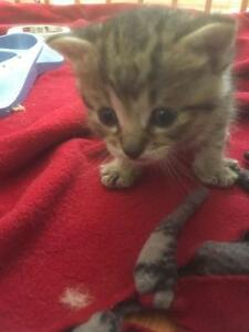 "Baby Female Cat - Tabby - Grey: ""Eloise"""