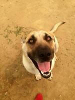 "Adult Female Dog - German Shepherd Dog-Mastiff: ""Lady"""