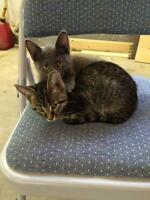"Baby Male Cat - Domestic Short Hair: ""Slate"""