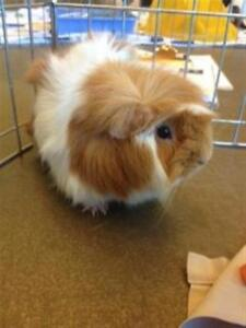 "Adult Male Small & Furry - Guinea Pig: ""Linny"""