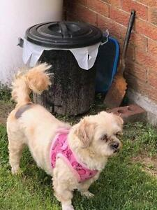 "Adult Female Dog - Shih Tzu: ""Layla"""
